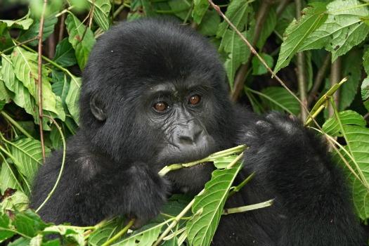 תצפית גורילות באוגנדה