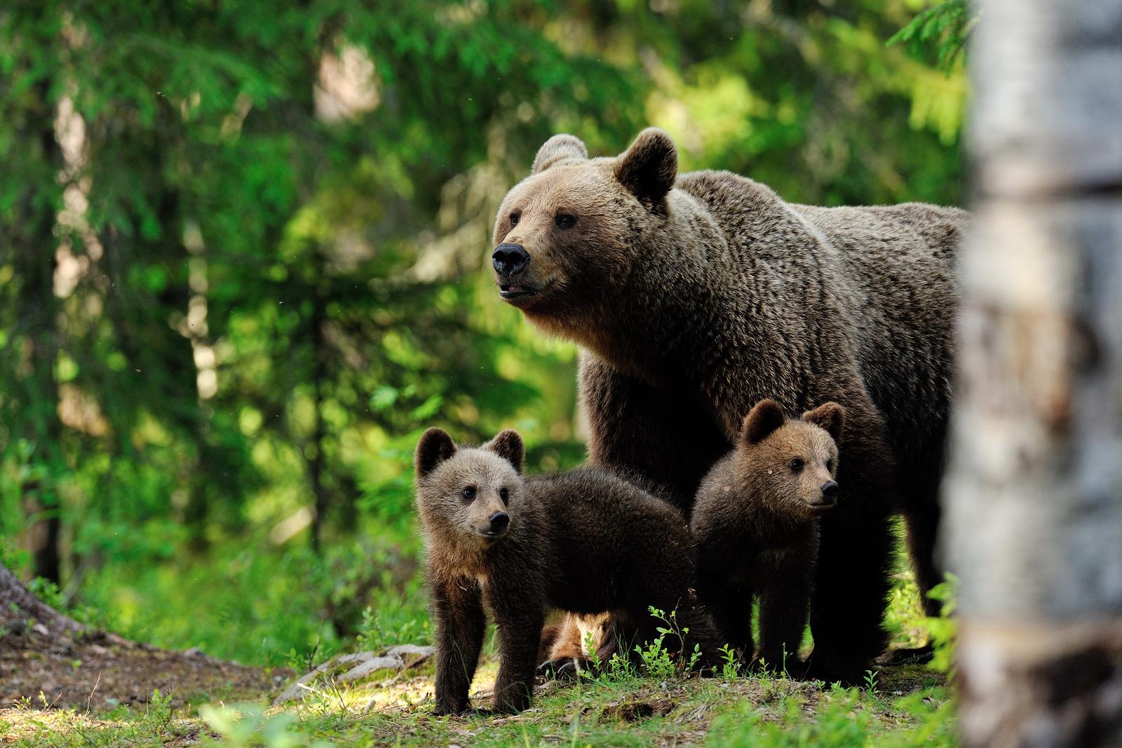 דובים וזאבים בסלובקיה