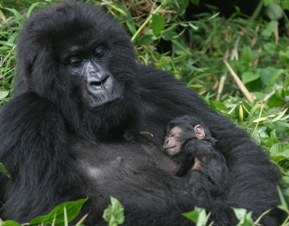 ספארי גורילות ושימפנזים באוגנדה - תמונה