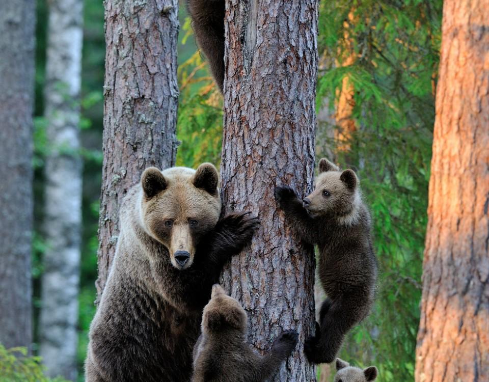 דובים באסטוניה עולם הספארי