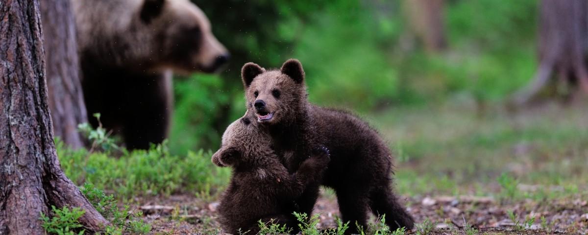 ספארי דובים בסלובניה עולם הספארי