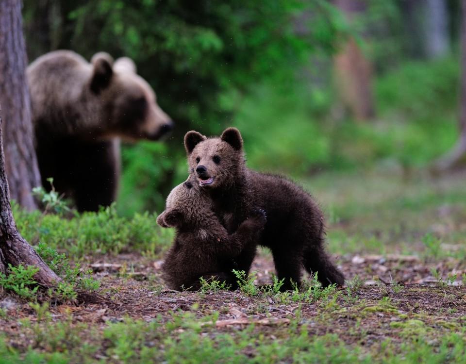 ספארי דובים בסלובניה - תמונה