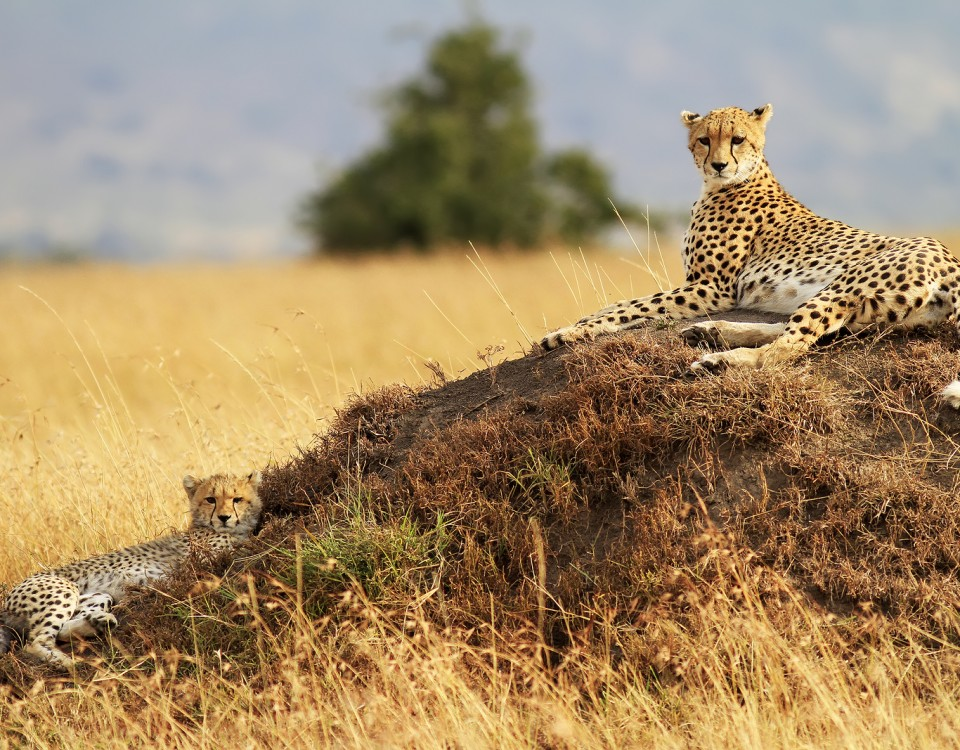 ספארי מקיף בקניה צ'יטה במסאי מארה עולם הספארי