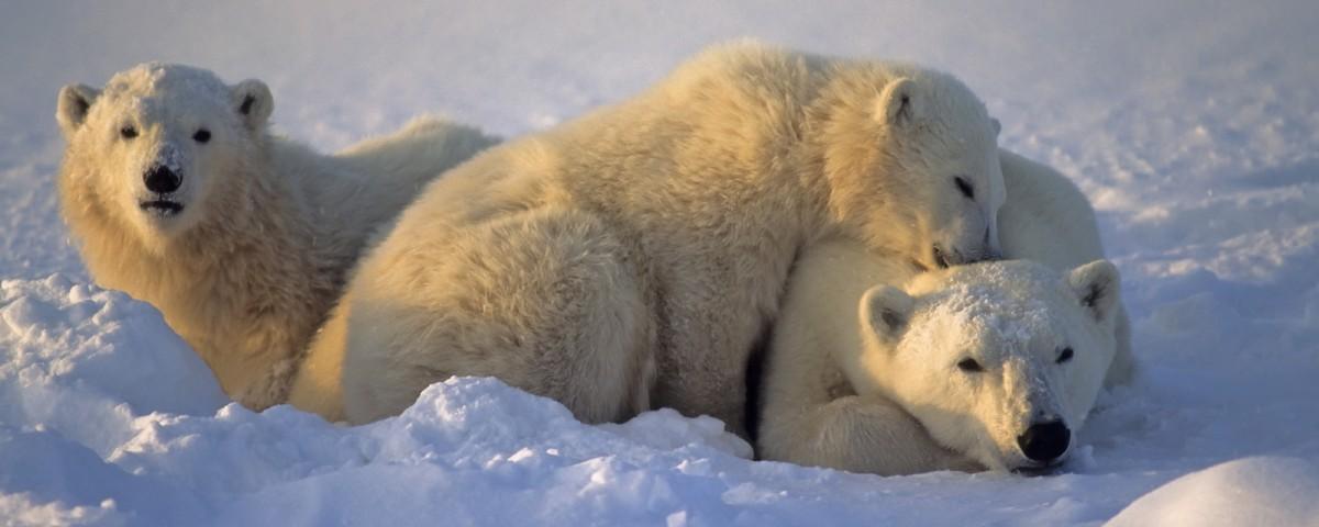 דובי קוטב במניטובה עולם הספארי