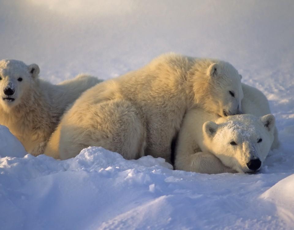 תצפית בדובי קוטב במניטובה - תמונה