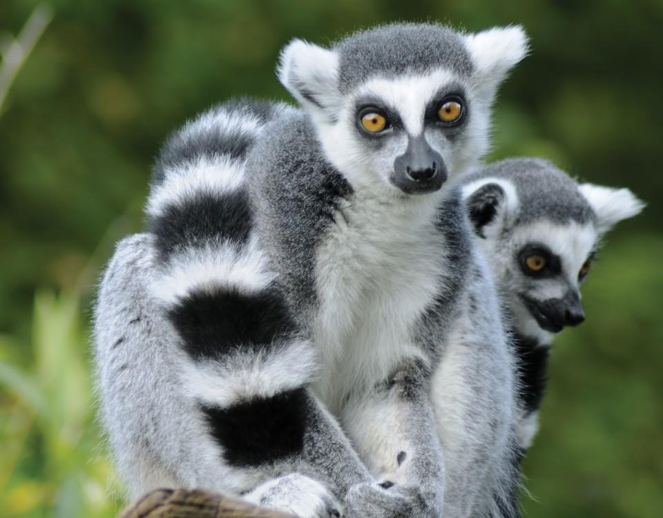 ספארי בדרום מדגסקר עולם הספארי למור