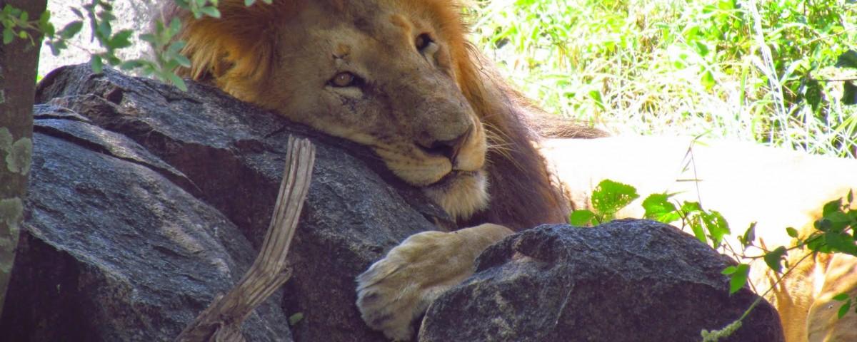 ספארי קלאסי בטנזניה עולם הספארי אריה בסרנגטי