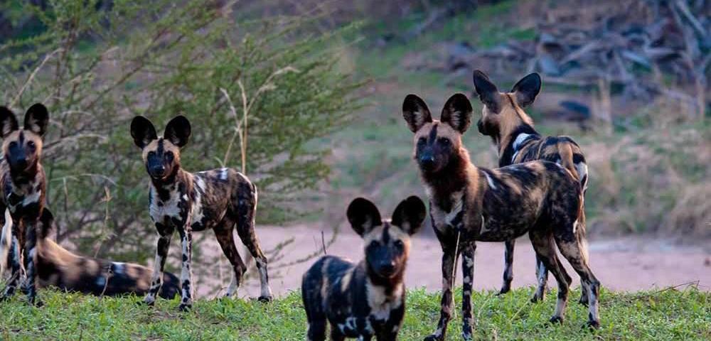ספארי בשמורת סלו עולם הספארי כלבי בר אפריקאיים