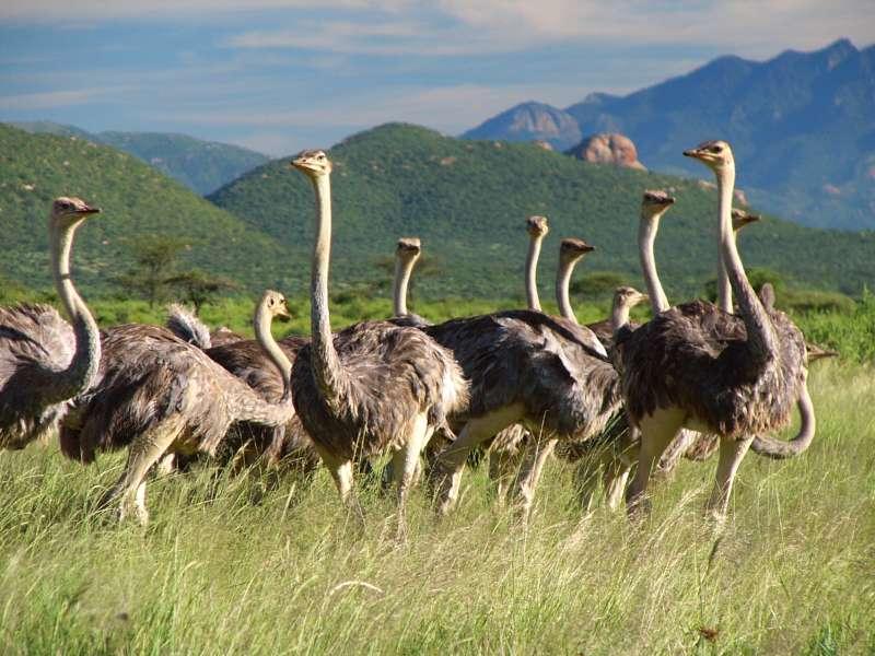 סמבורו מסאי מארה ספארי בקניה עולם הספארי